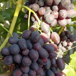 Виноград Бордовая мантия