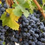 Виноград Родина