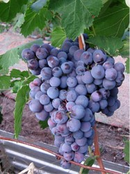 Виноград Черныш