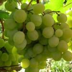 Виноград Алтайский белый