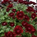 Хризантема мультифлора Красный Адонис