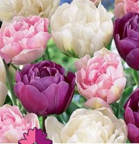 Тюльпан махровый Микс №03