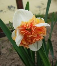 Нарцисс орхидный Распберри Крем