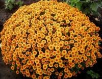 Хризантема мультифлора абрикосовое совершенство