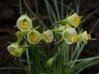 Нарцисс  graellsii
