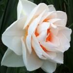 Нарцисс махровый Гей Табор