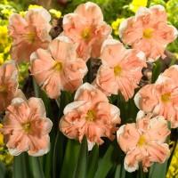 Нарцисс орхидный Эприкот Вирл
