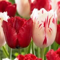 Тюльпан бахромчатый Дуэт-Микс