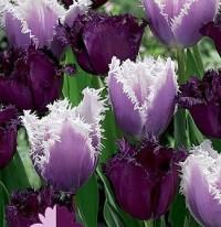 Тюльпан бахромчатый Микс №04