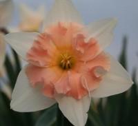 Нарцисс орхидный Диар Лав