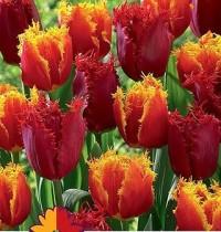Тюльпан бахромчатый Микс №03