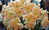 Нарцисс орхидный Эппл Пай