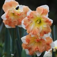 Нарцисс орхидный Кум Лауд