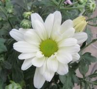 Хризантема корейская Ромашка белая
