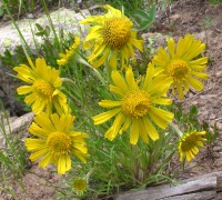 Хименоксис крупноцветковый