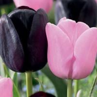 Тюльпан простой Дуэт-Микс