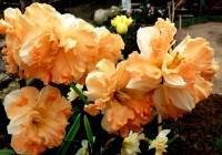 Нарцисс махровый Оранж Джус