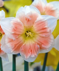 Нарцисс орхидный Казанова