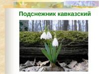 Подснежник (галантус) Кавказский