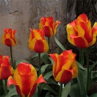 Тюльпан гибрид грейга Киев