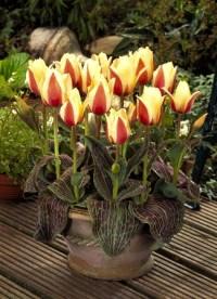 Тюльпан гибридный Донна Белла