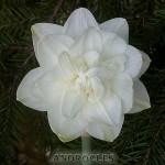 Нарцисс махровый Андроклесс