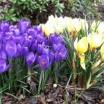 Крокус ботанический фиолетовый и желтый