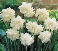 Нарцисс махровый Калгари
