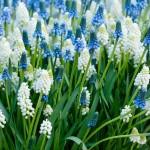 Мускари голубой и белый