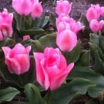 Тюльпан гибридный Свит Сикстин