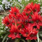 Тюльпан ботанический Фенна