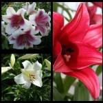 Лилии смесь ЛО ( Длинно-цветковые)  гибриды