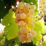 Виноград Розово-Янтарный (столовый)