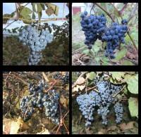 Виноград неукрывной набор 4 шт