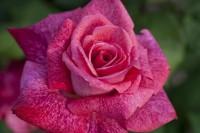 Роза Пьер карден