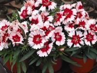 Гвоздика китайская бело-красная