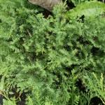 Можжевельник Даурский  (Juniperus davurica).