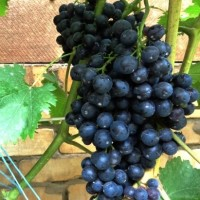 Виноград Венера
