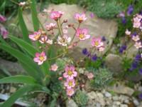 Камнеломка метельчатая Розовая