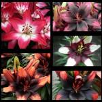 Лилии смесь карликовая 3