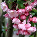 Яблоня декоративная Ван Эселтин