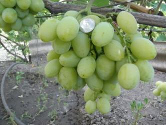 Виноград Синдикат (столовый)