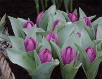 Тюльпан Бейби Блю