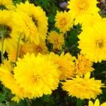 Хризантема корейская Свембо