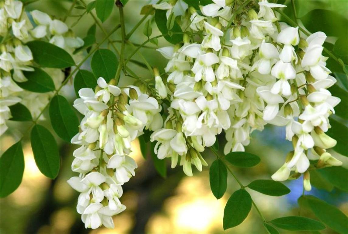 Цветы белой акации дерево