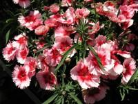 Гвоздика китайская розово-красная (клубника)