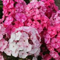 Флокс FRECKLE® ПИНК ШЕЙДС (белый с роз. штрихом)