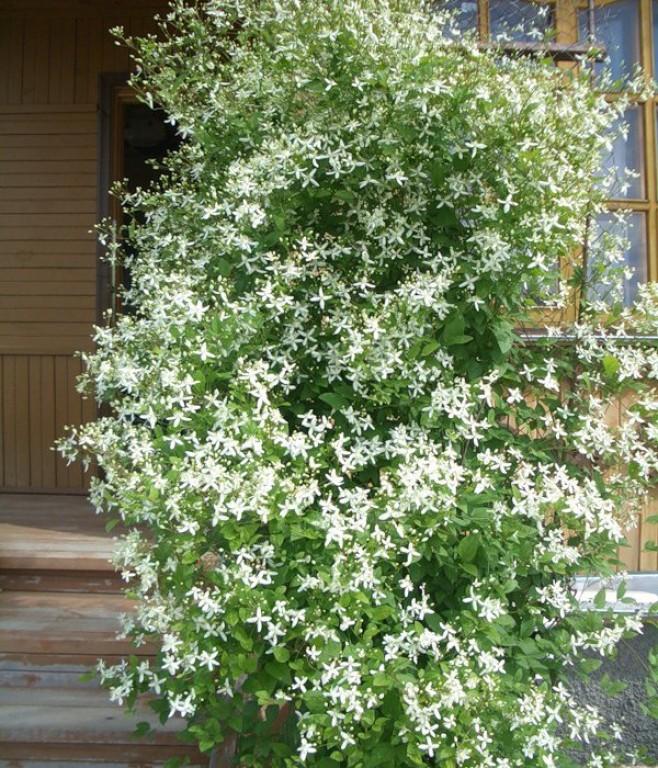 клематис мелкоцветковый белый уход