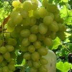 Виноград Крымская Жемчужина (столовый)