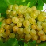 Виноград Кристалл (универсальный)